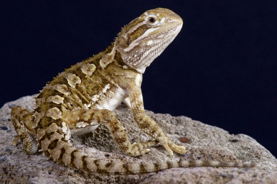 Pet Rankin's dragon