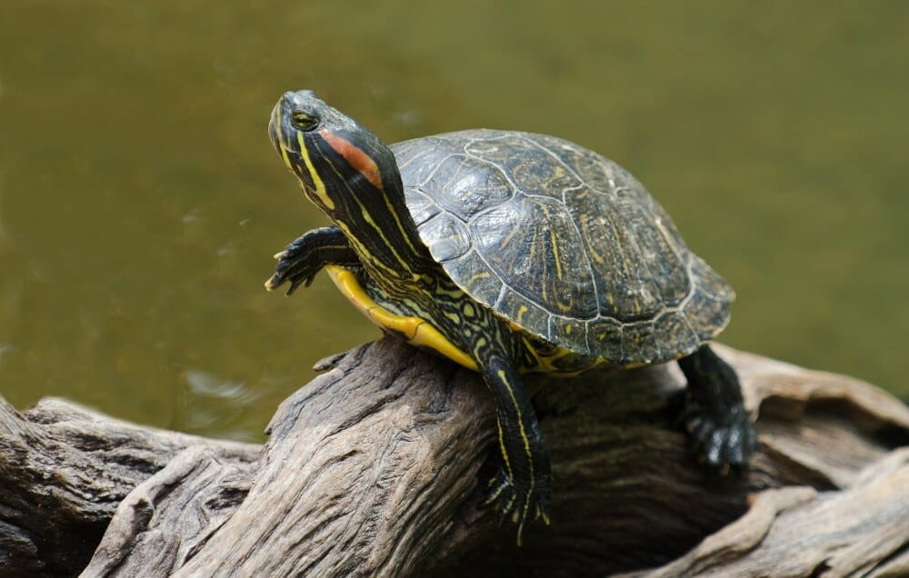 A popular type of turtle called the red-eared slider
