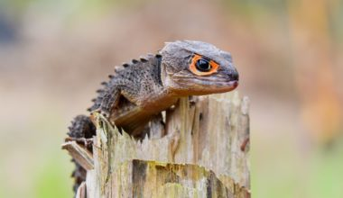 A pet red-eyed crocodile skink climbing