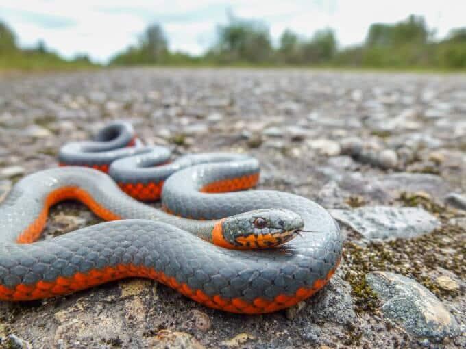 Ringneck snake outside on the ground