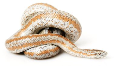 One rosy boa coiled up