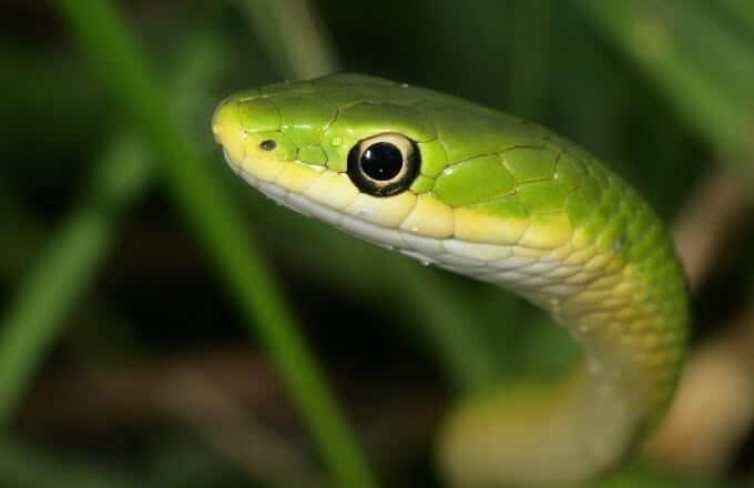 A pet rough green snake