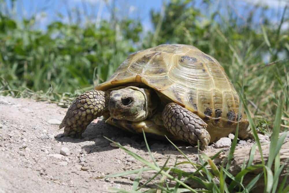 A good pet Russian tortoise