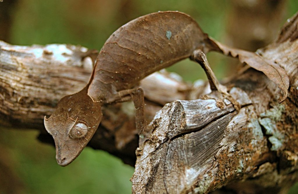 Satanic leaf-tailed gecko on a branch