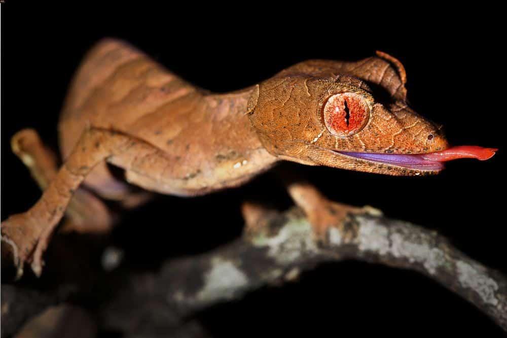 A satanic leaf-tailed gecko eating