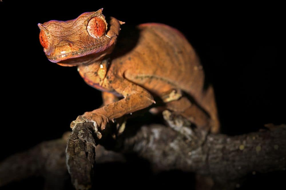 Satanic leaf-tailed gecko at night