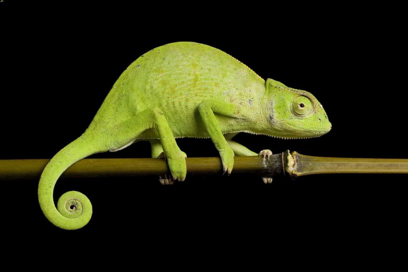 Senegal chameleon on a tree branch