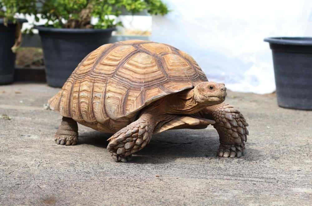 A pet sulcata tortoise walking outside