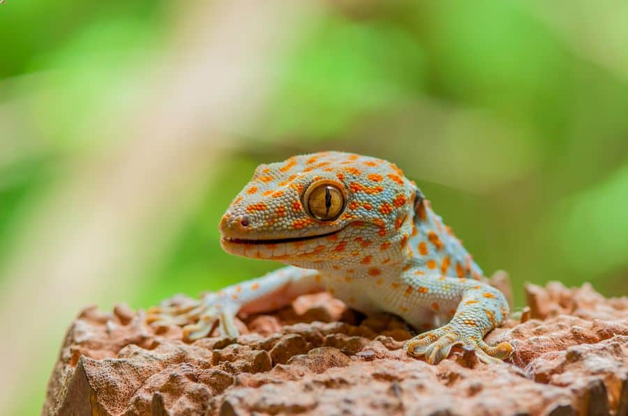One tokay gecko looking for food in a large enclosure