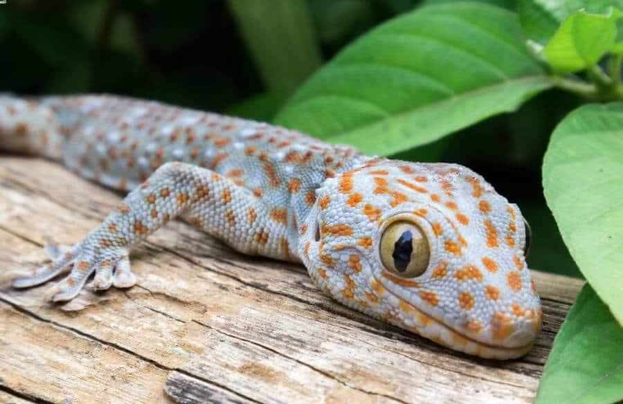 A tokay gecko resting in his habitat