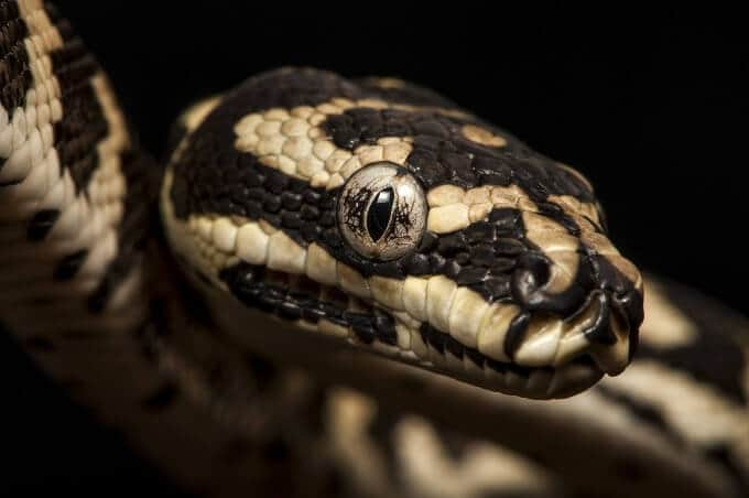 A type of pet snake named the carpet python
