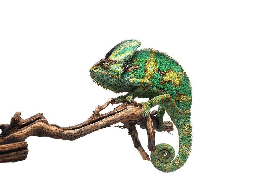 A pet veiled chameleon on an indoor branch