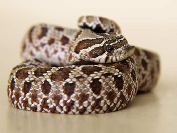A western hognose snake coiled up