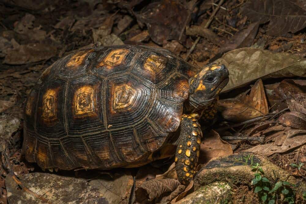 A yellow-footed tortoise species standing on leaves
