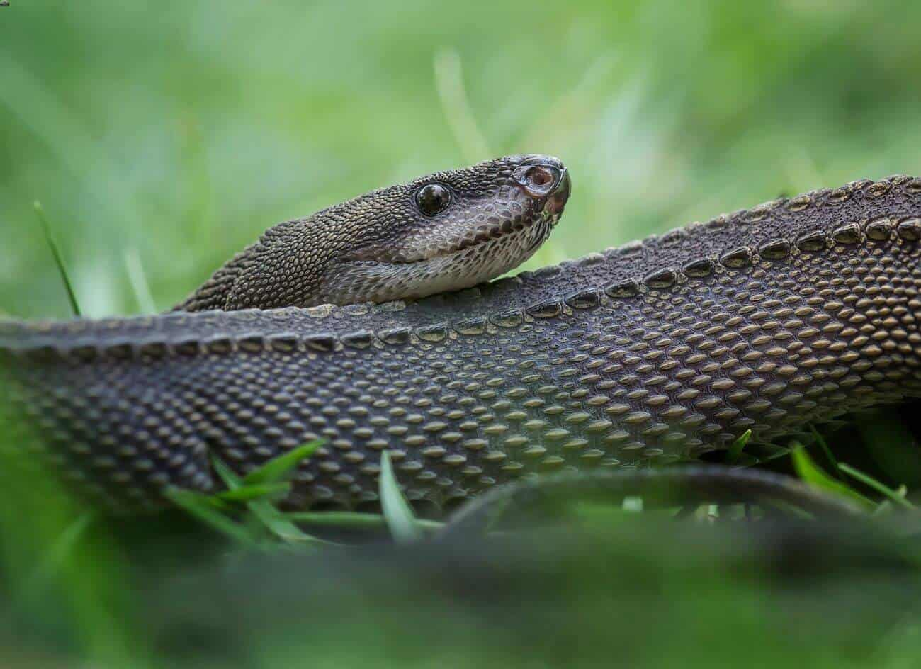 A dragon snake coiled up