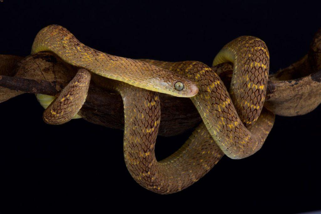 Egg-eating snake on a branch