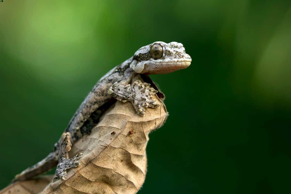 A flying gecko climbing on a leaf