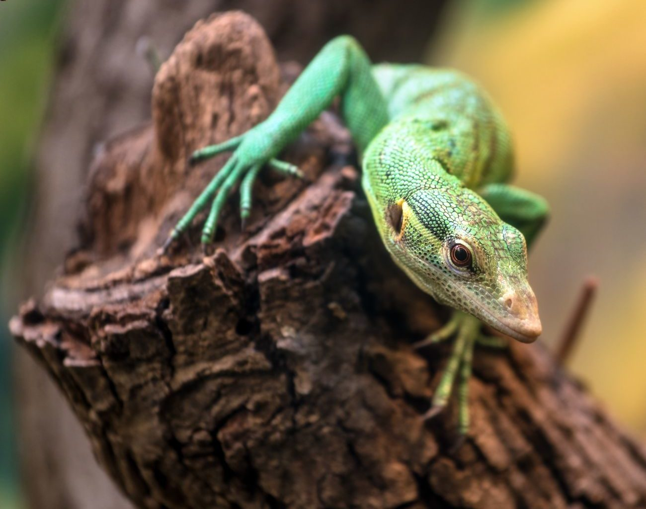 An adult green tree monitor climbing on a branch