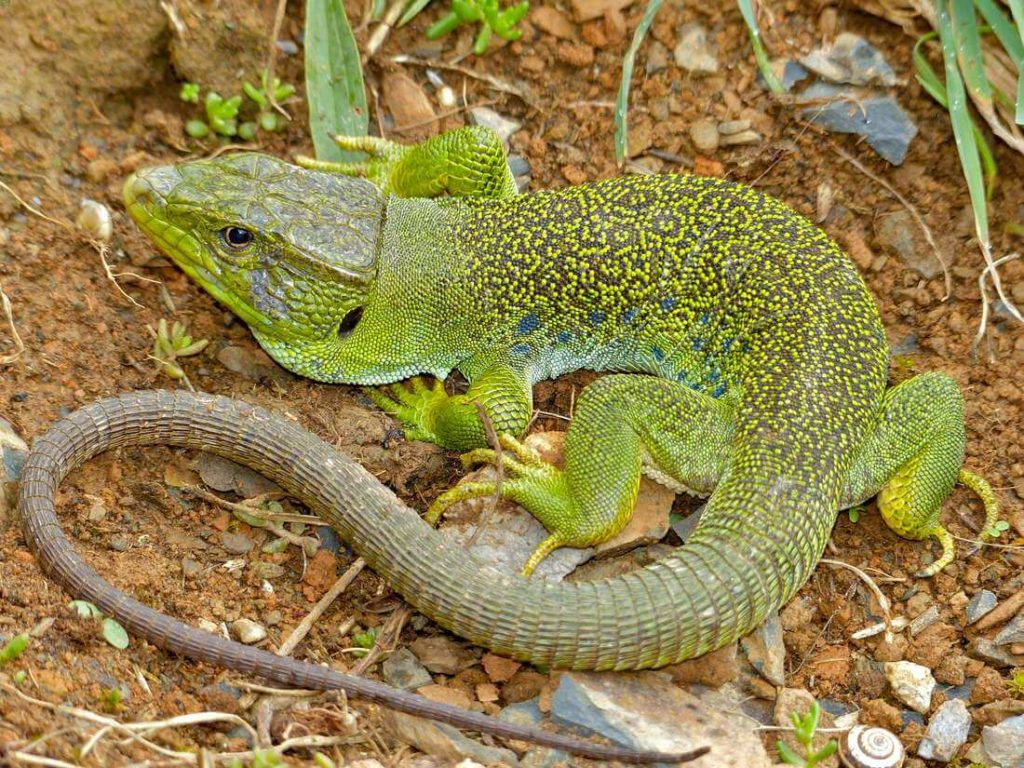 A jeweled lacerta walking on the ground