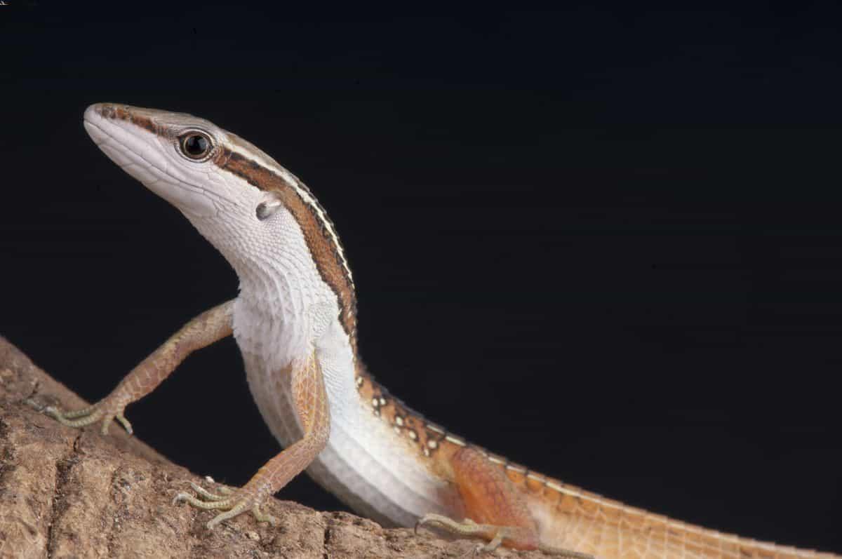 Long-tailed lizard climbing a branch in an enclosure