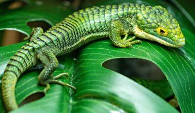 A pet Mexican alligator lizard