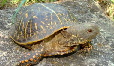 An ornate box turtle in an outdoor enclosure