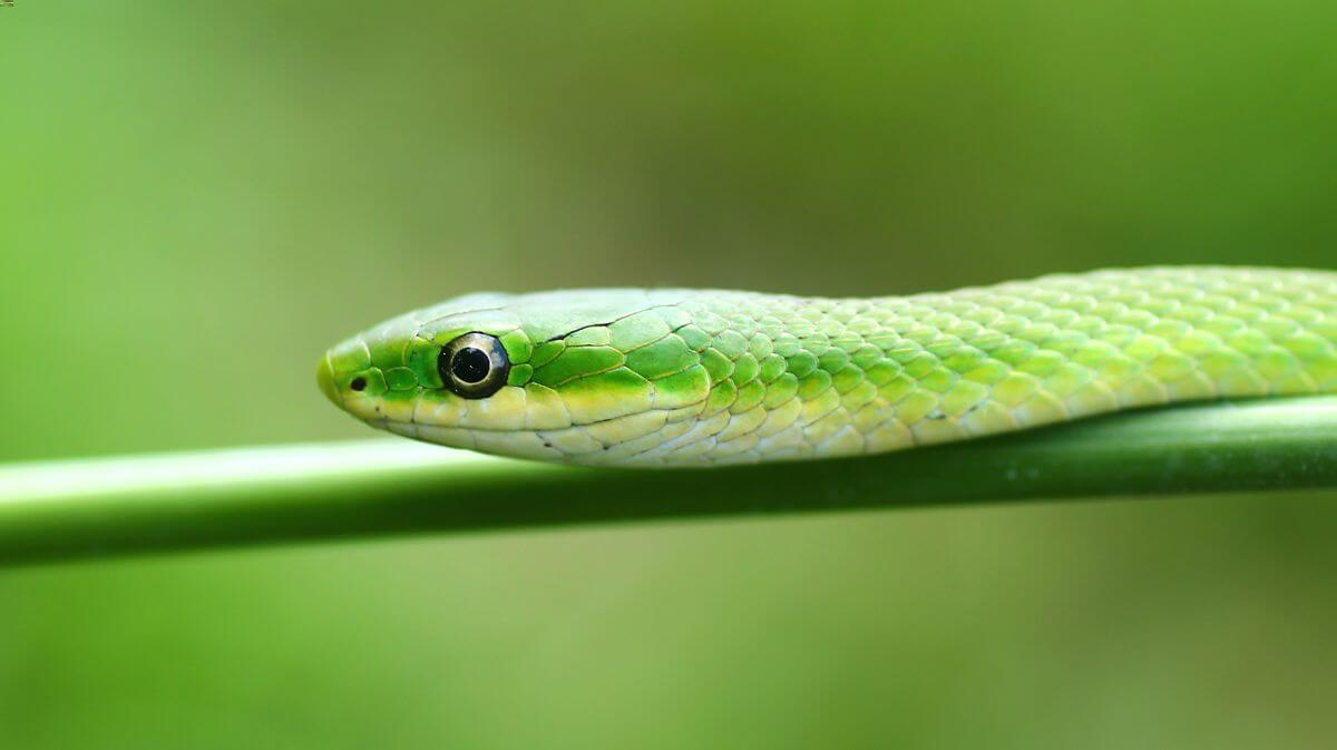 A rough green snake looking for an insect to eat