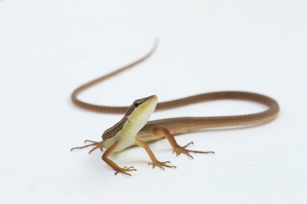 Takydromus sexlineatus looking for insects