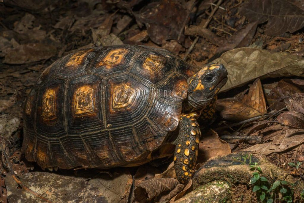 Yellow-footed tortoise inside an enclosure