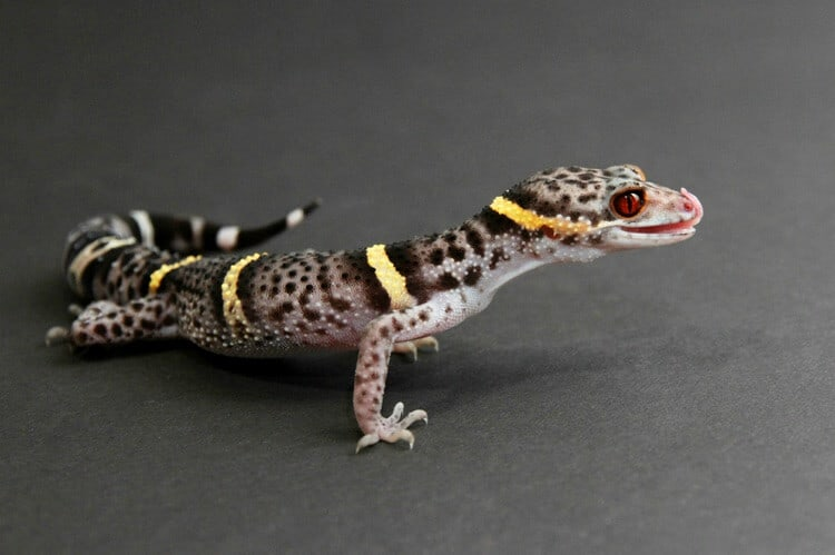 A type of gecko called the Chinese cave gecko