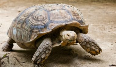 An adult elongated tortoise walking toward food