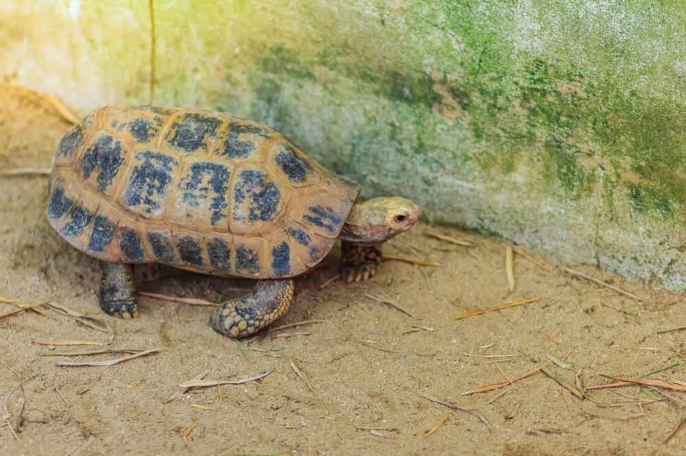 An elongated tortoise in a large outdoor enclosure