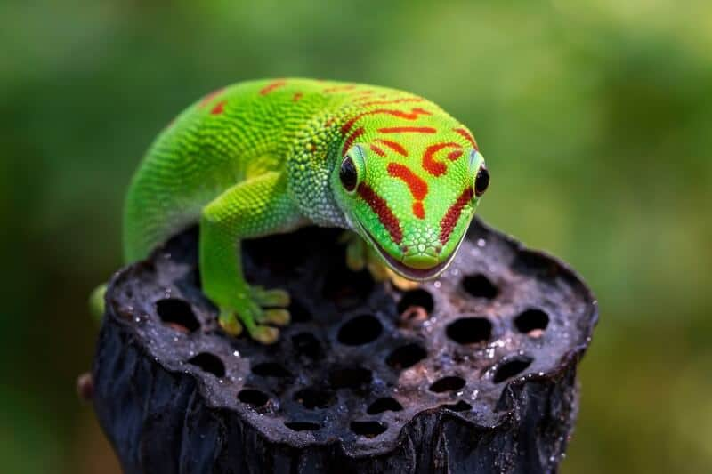 One giant day gecko drinking water