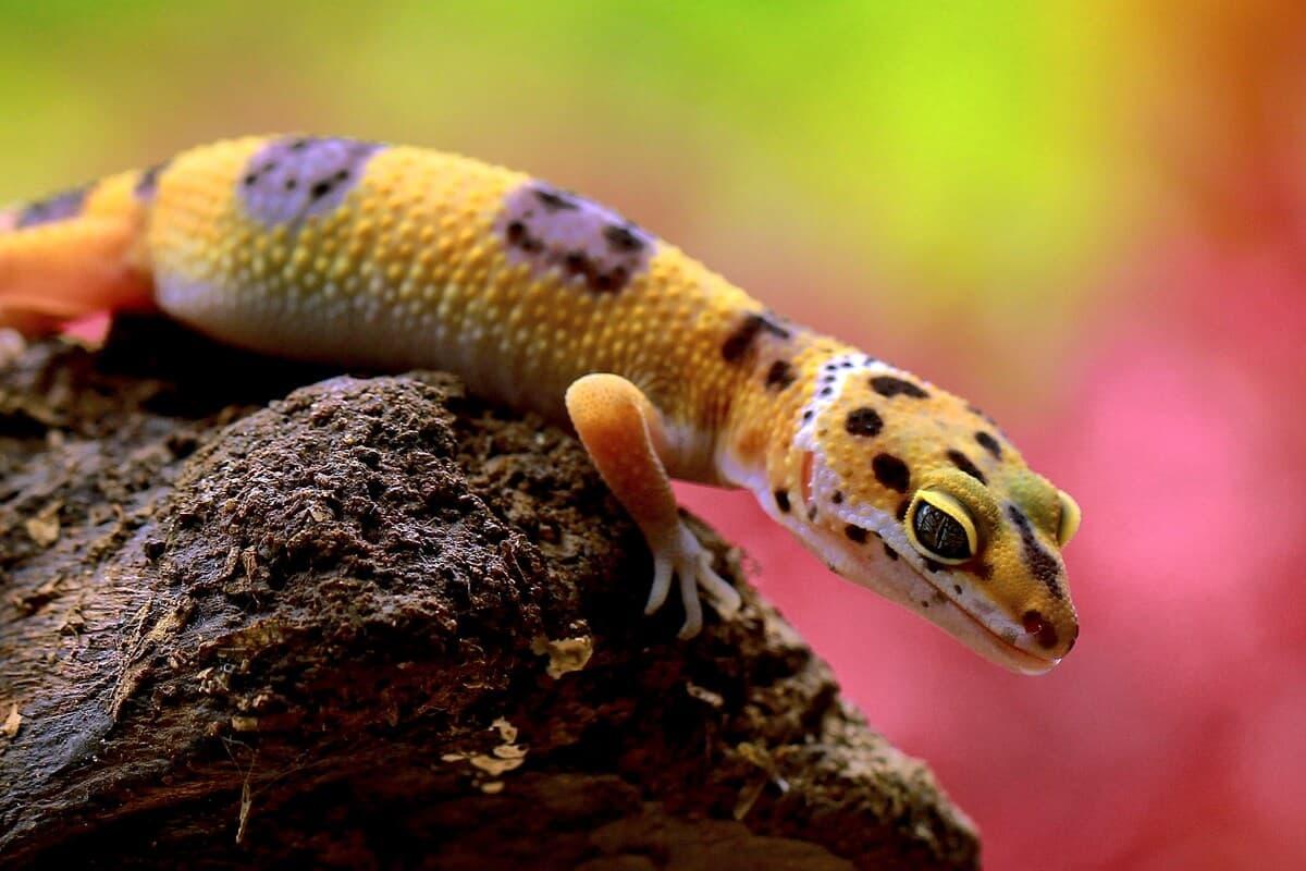 A pet leopard gecko climbing on a piece of wood