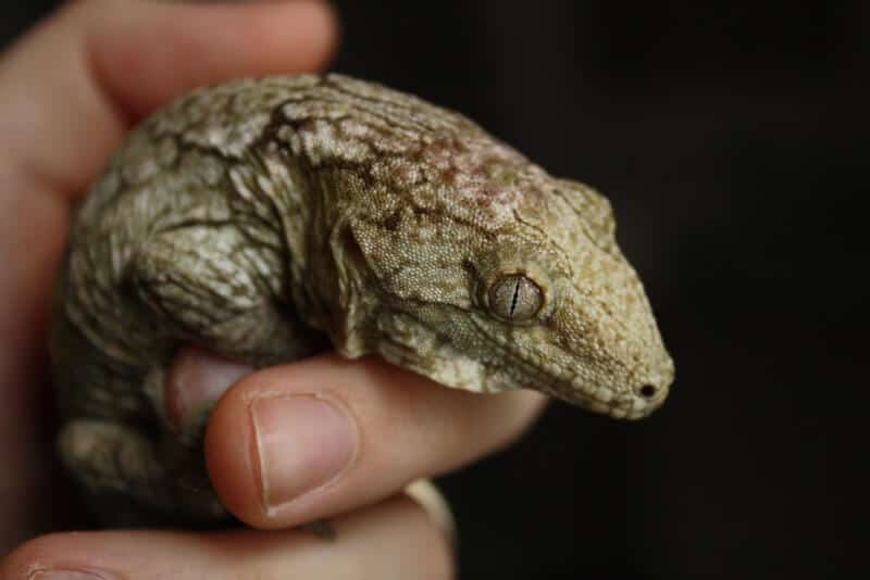 A pet Leachianus gecko being handled by its owner