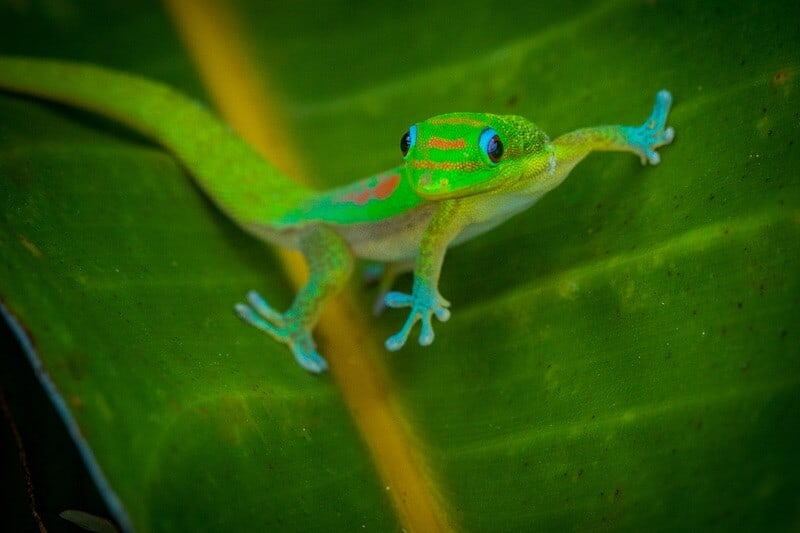 Small gold dust day gecko on a leaf