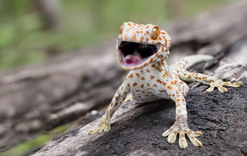 Male tokay gecko climbing down a tree