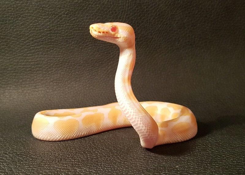 An albino type of ball python