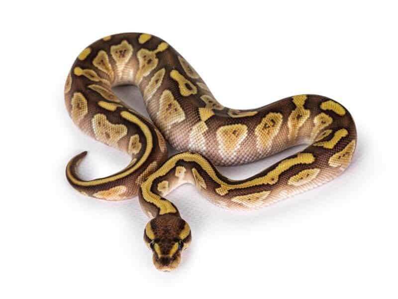 A baby lesser ball python