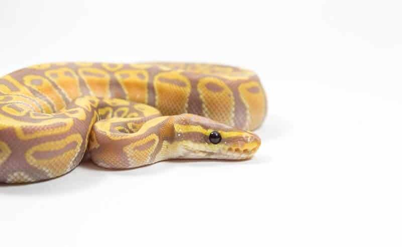 A coiled coral glow ball python