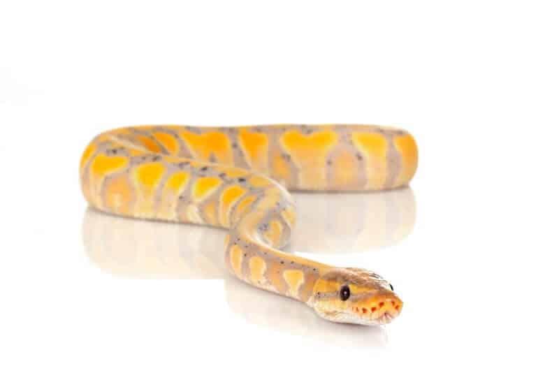 A bright banana ball python morph