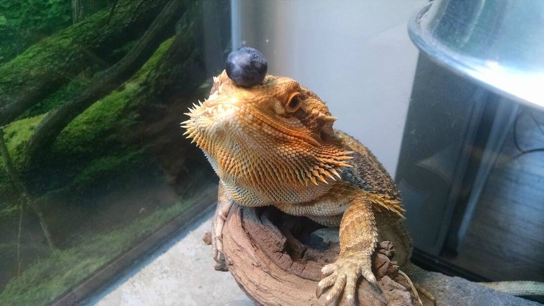 A bearded dragon about to eat a blueberry