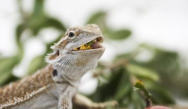 A bearded dragon eating a banana and other foods