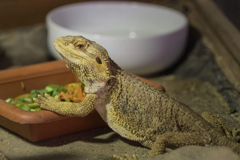 A bearded dragon eating out of a food bowl