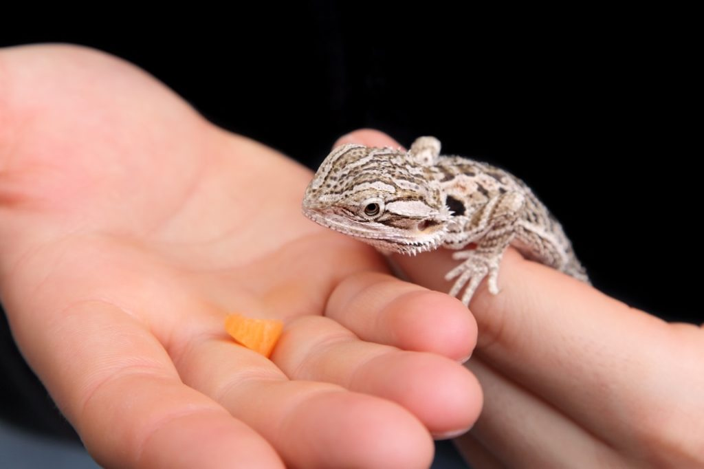 A bearded dragon eating a carrot out of a hand