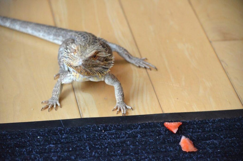 Pet bearded dragon eating strawberries