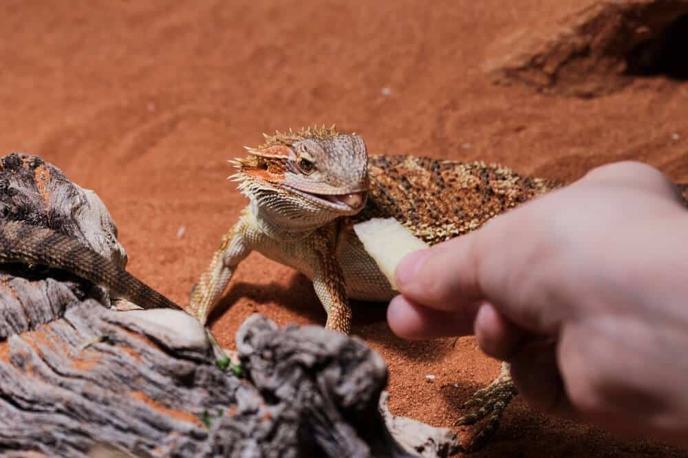 A new owner feeding a bearded dragon a slice of apple