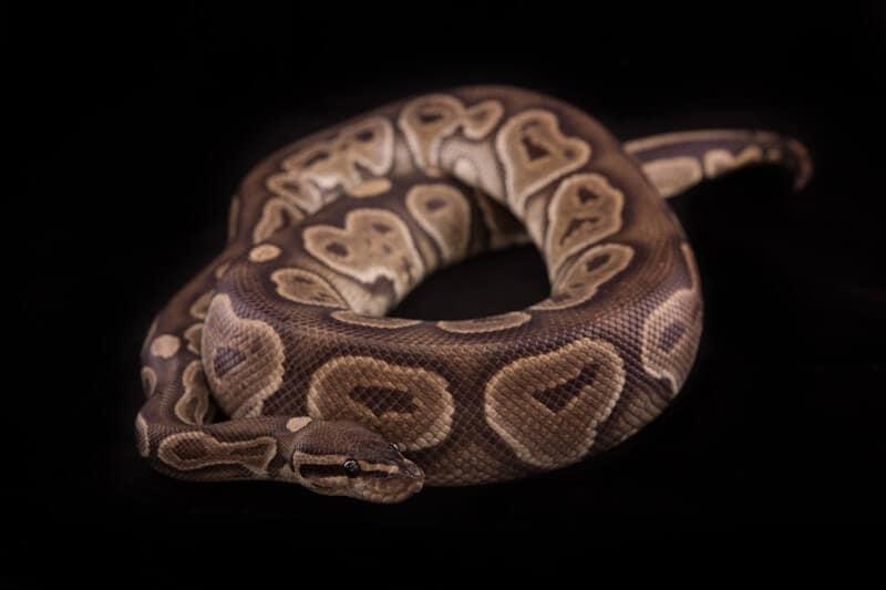A cinnamon ball python color