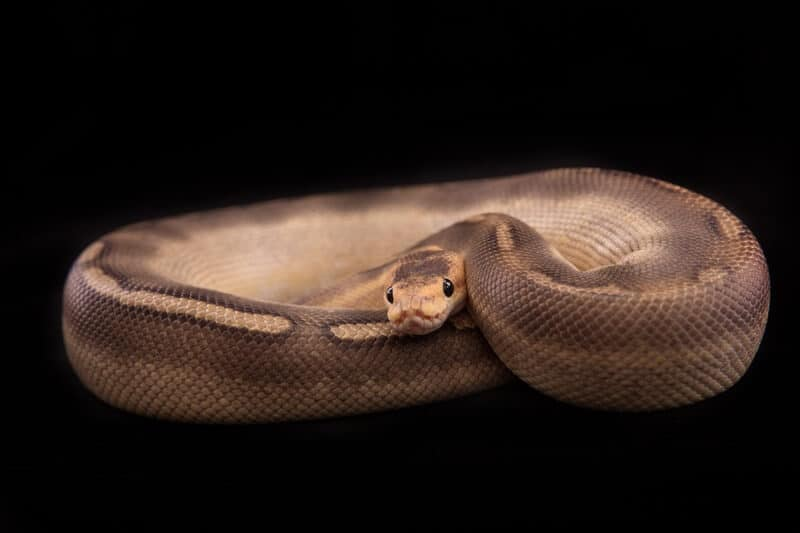 A coiled champagne type of ball python