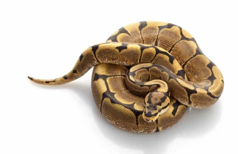A coiled spider ball python